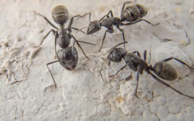 Ant Control Services Gold Coast