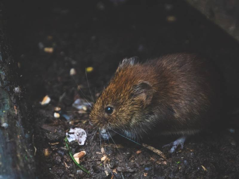 rodent control services gold coast