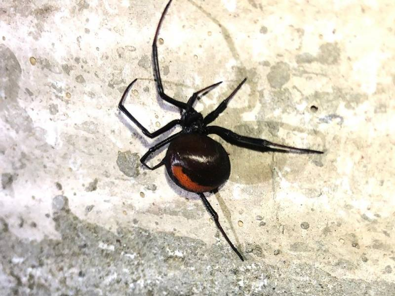 spiders safehousepest control