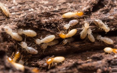 Termite Inspections For Gold Coast Homes